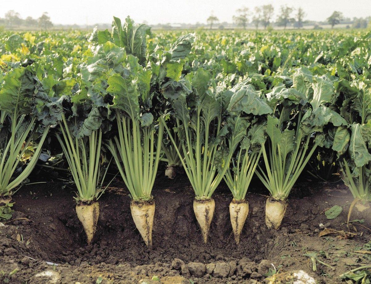 """Культура цукровий буряк. Особливості вирощування, догляд, зберігання,  обробіток грунту, захист від шкідників   ІАС """"Аграрії разом"""""""