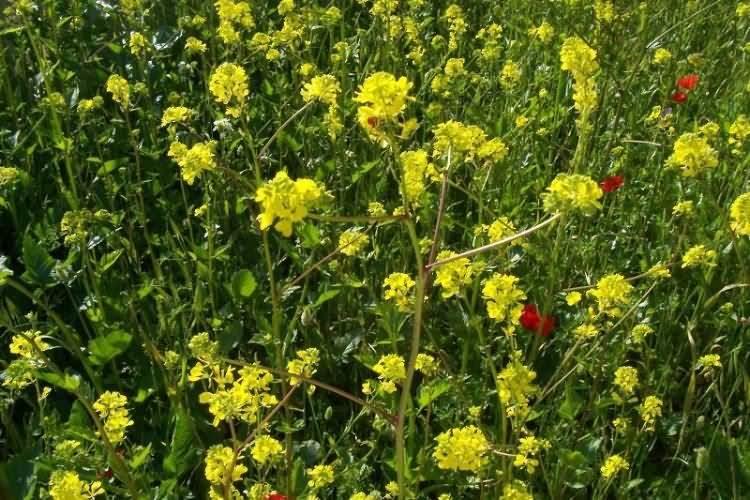 Гірчиця фото рослина 4
