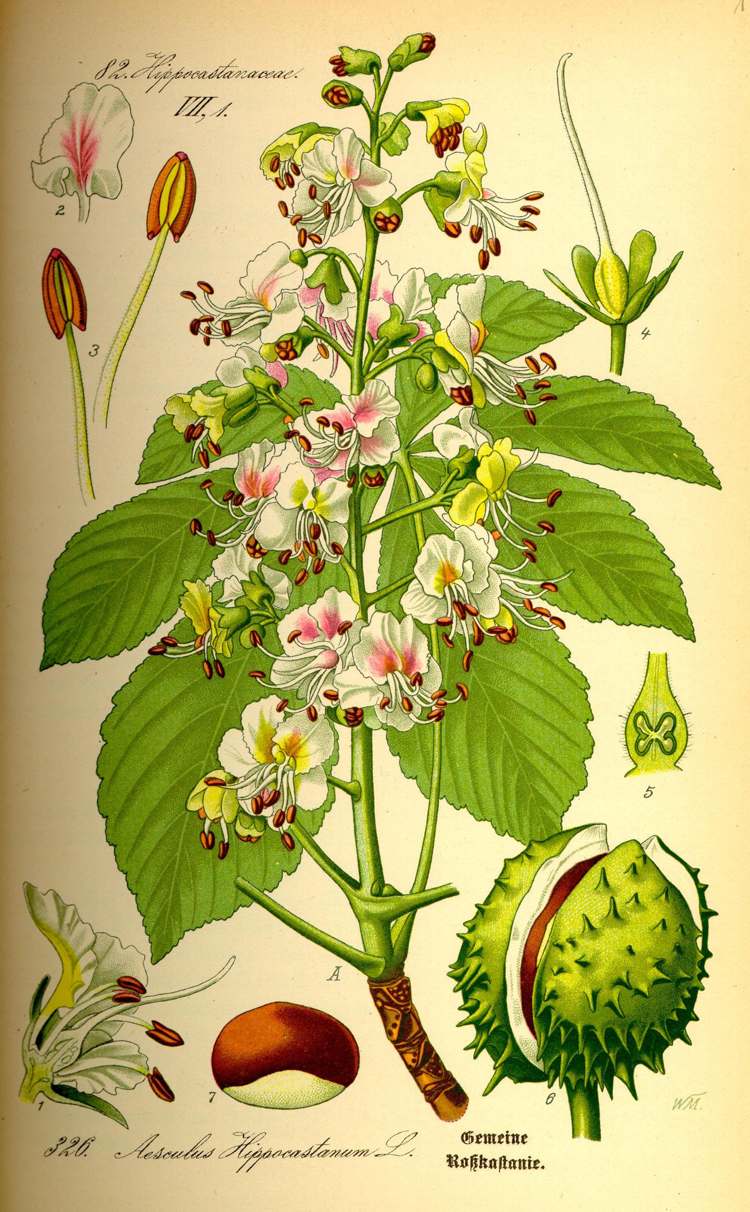 """Рослина Гіркокаштан звичайний кінський каштан звичайний. Будова, поширення, біологічна класифікація ІАС """"Аграрії разом"""""""