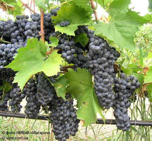 Аликанте сорт винограда осенью