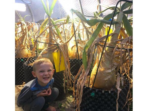 Фермер виростив гігантську цибулю завбільшки з 2 людські голови Рис.4