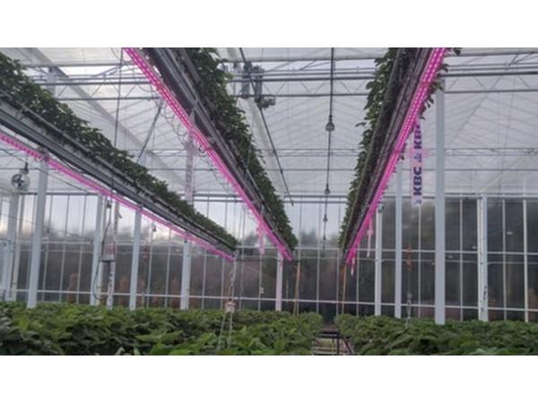 У Бельгії вивчають можливості багатоярусного вирощування суниці в теплиці Рис.1