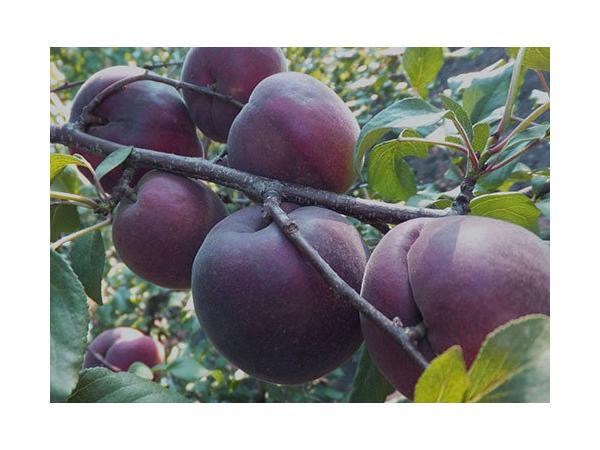 абрикос чорнокорий