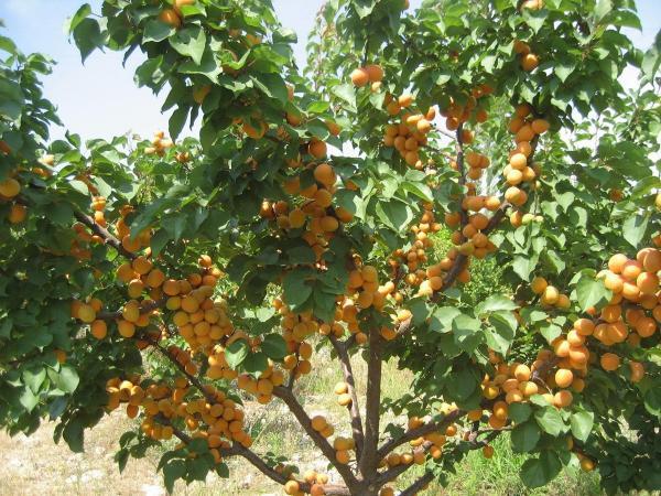 абрикос рослина