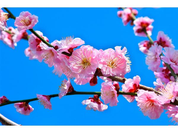 рожевий цвіт абрикоса