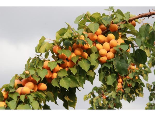 абрикос гілка