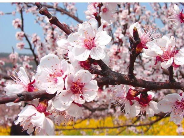 квітка абрикоса