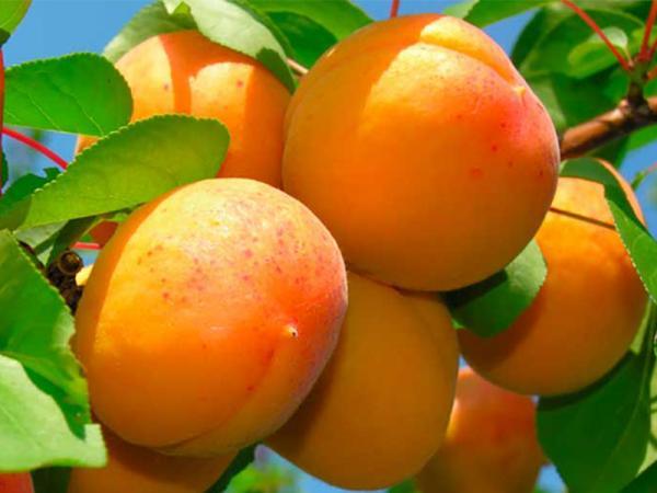 плоди абрикоса