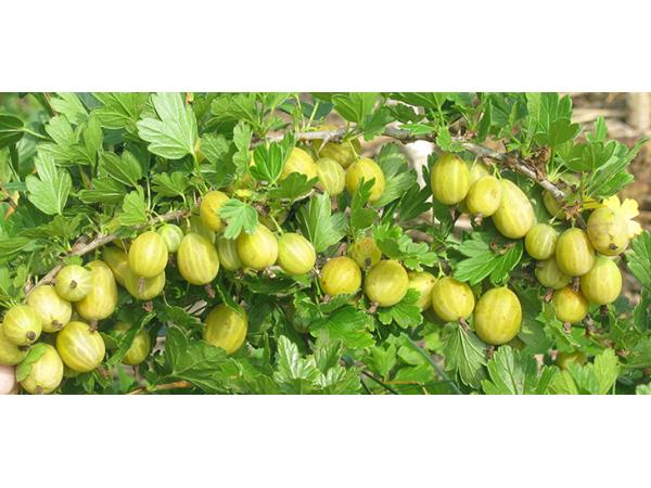 аґрус плоди