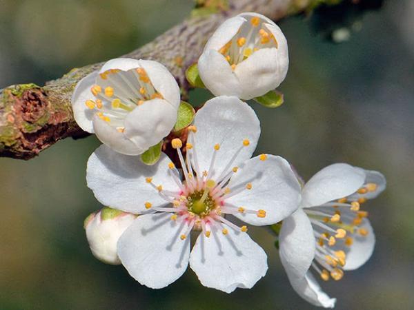 цвіт аличі