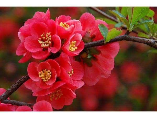 цвітіння айви