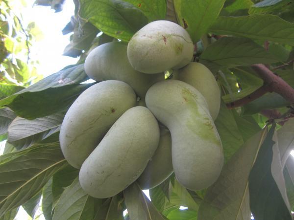 азиміна плоди