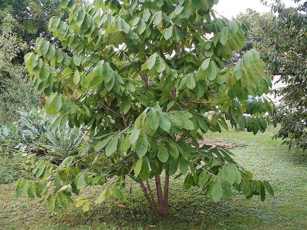 азиміна дерево