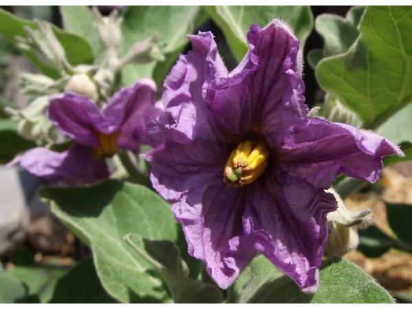 квітка баклажана