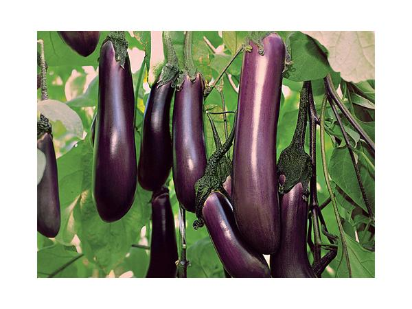 рослина баклажан