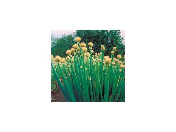 Загальний вигляд цибулі батун в період цвітіння