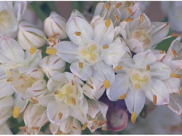 Цибуля батун. Квітки