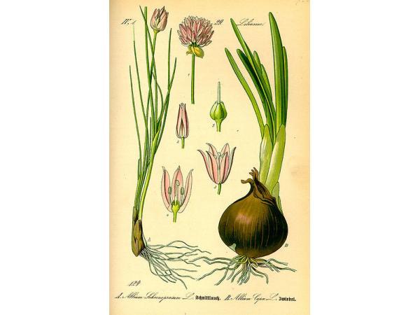 Цибуля шніт. Ботанічна іллюстрація із книги О. В. Томе
