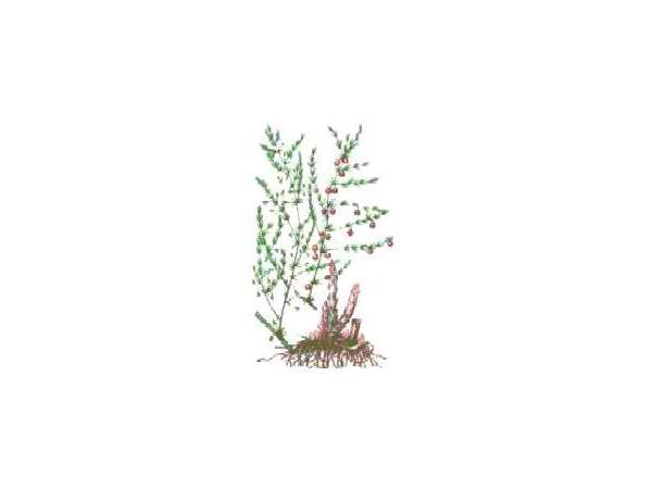 холодок лiкарський (спаржа)