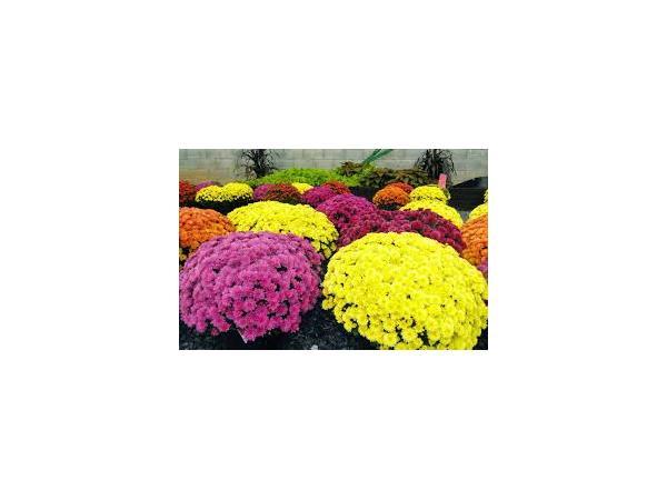 Хризантема садова Рис.2