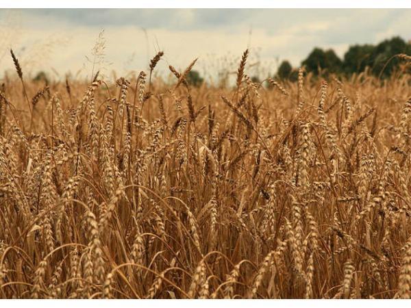 жито яре