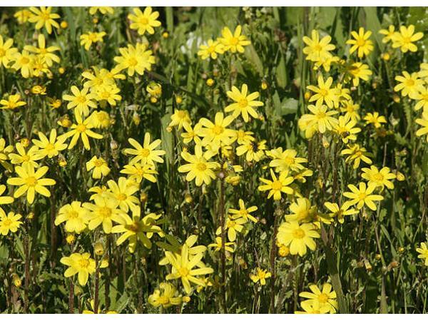 Жовтозілля весняне