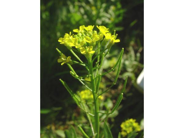 Жовтушник прямий Рис.1