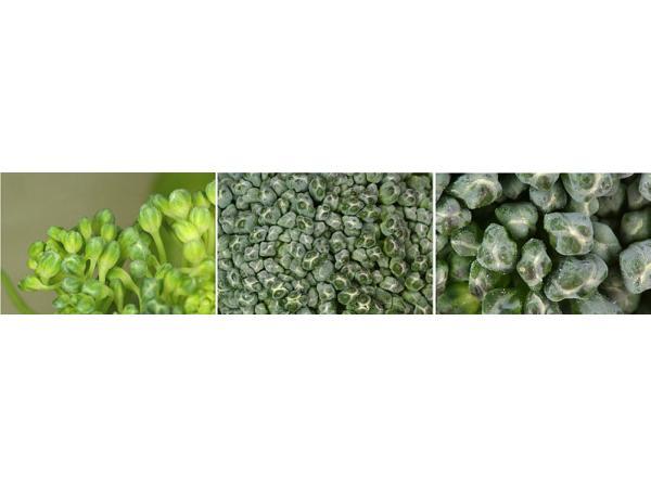 капуста броколi
