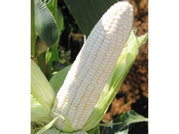 кукурудза цукрова білосніжка
