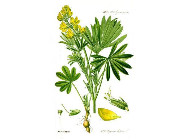люпин жовтий