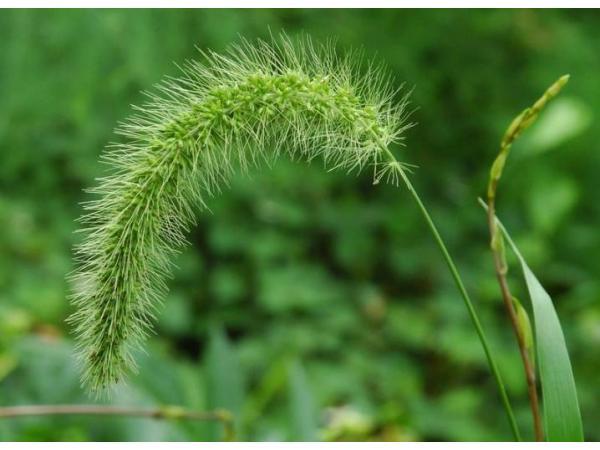 Мишій зелений