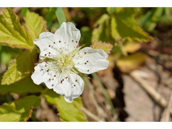 квітка ожини звичайної