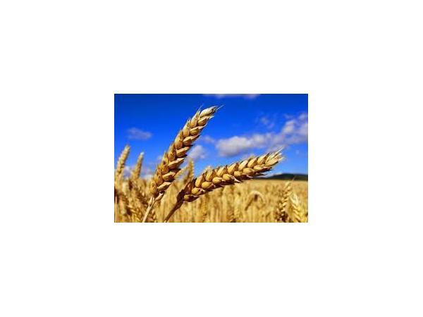 пшениця шарозерна Рис.1