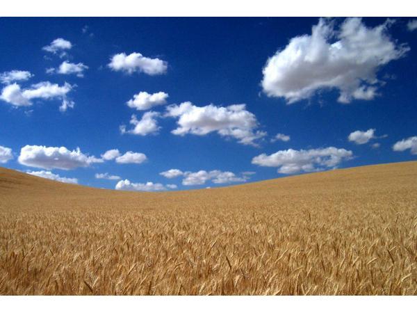 пшениця яра