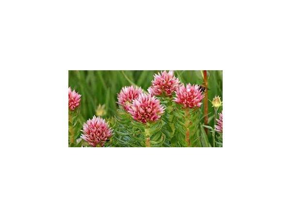 Родіола рожева Рис.1