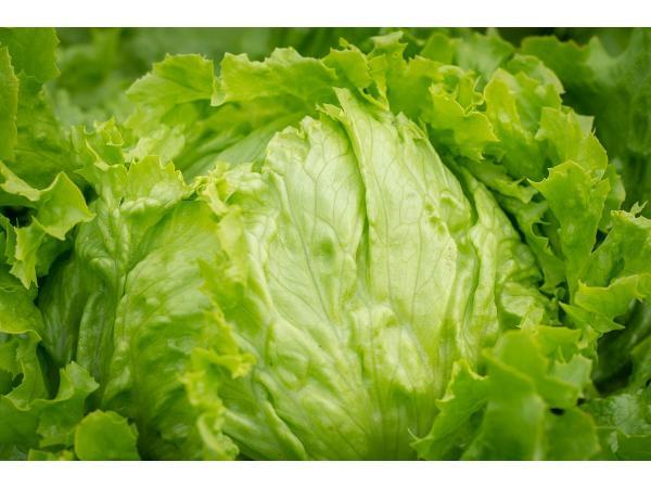 Салат посівний листковий Рис.1