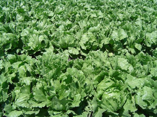 Салат посівний листковий Рис.2