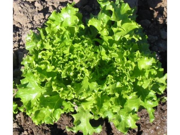 Салат посівний стебловий Рис.1