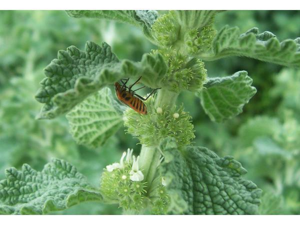 Шандра звичайна. Agonoscelis rutila живляться листям рослини