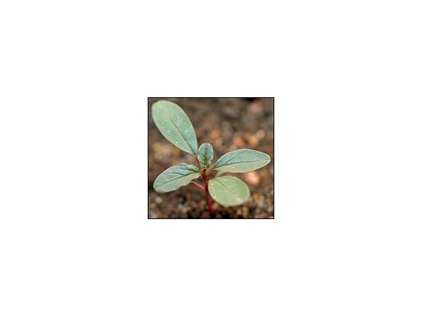 Щириця жминдовидна