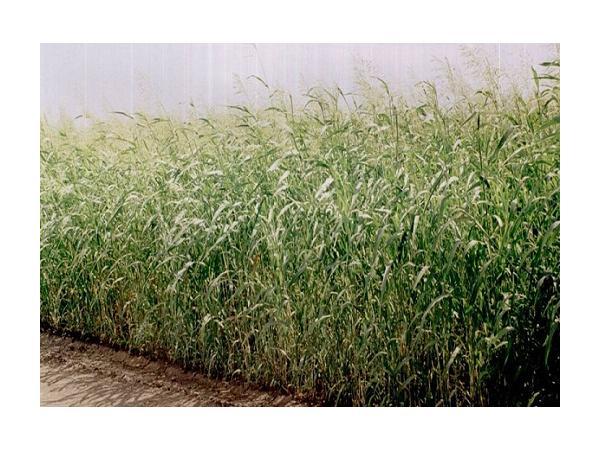 суданська трава