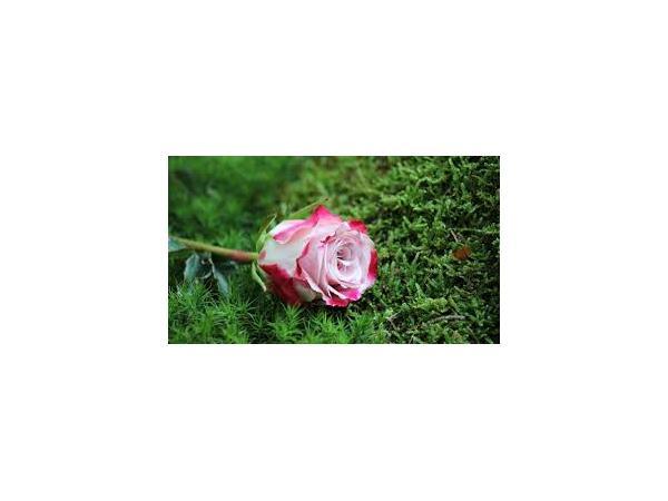 троянда Рис.3