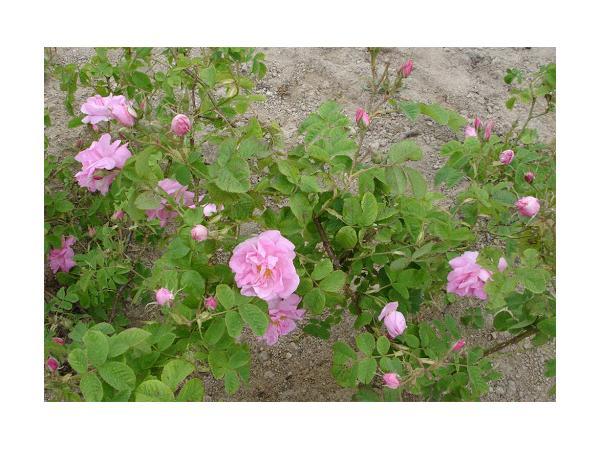 троянда дамаська Рис.2