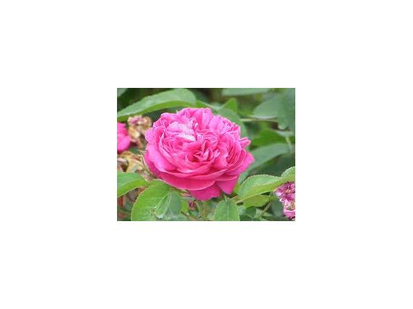 троянда дамаська Рис.3