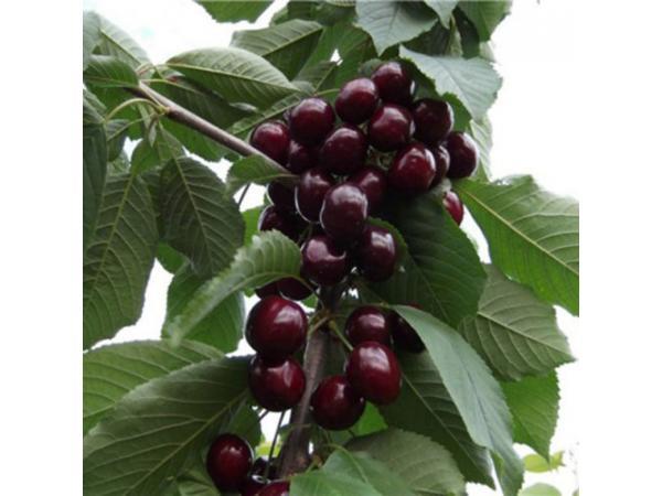 Вишнево-черешневий гібрид Рис.1