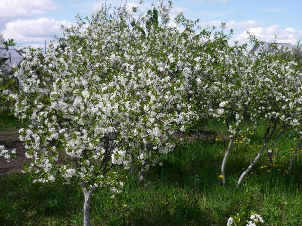 дерево квітучої вишні