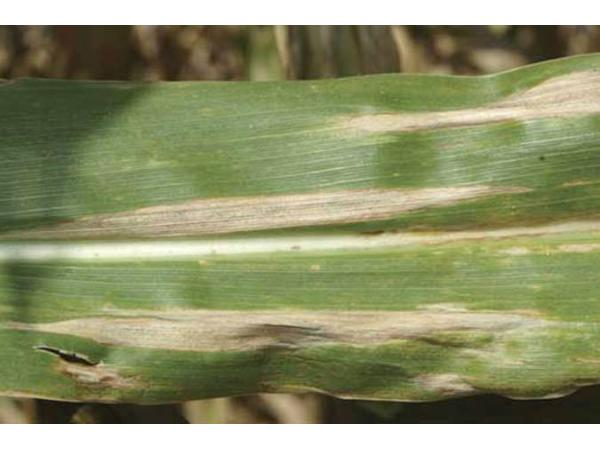 Гельмінтоспоріоз листя кукурудзи ( Helmiпthospoгium tuгcicum Pass ...