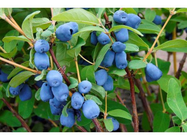 жимолость синя Рис.1
