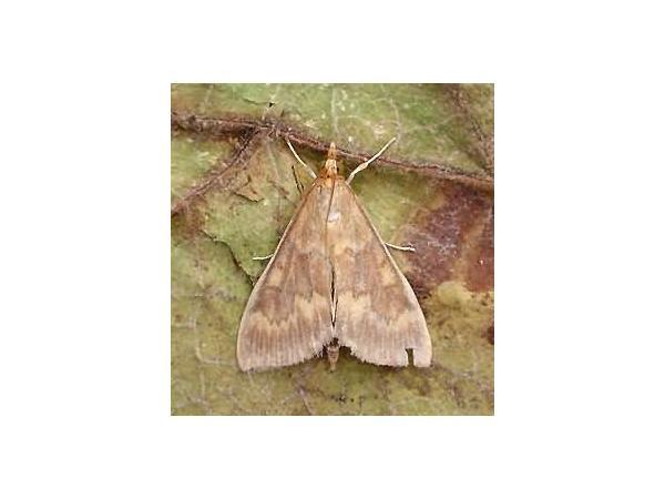 Стебловий метелик