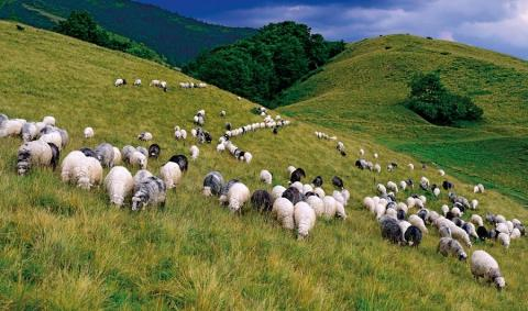 На Закарпатті 82-річний чоловік ще досі займається вівчарством Рис.1